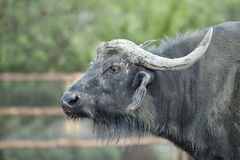 African Buffalo Royalty Free Stock Images