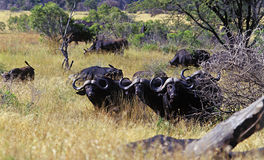 African Buffalo 3. Herd of buffalo in the Kruger Park, South Africa Stock Photography