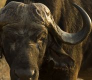 African Buffalo Stock Images