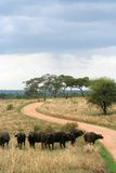 African Buffalo. A herd of African Buffalo standing near a dirt road Royalty Free Stock Images