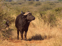 African buffalo in african lansdcape. African buffalo standing in the dry grass watching stock image