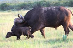 African Buffalo Baby Stock Photo