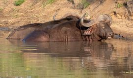 African Buffalo basking in the water in the late afternoon sun, photographed at Kruger National Park in South Africa. stock photography
