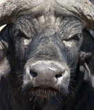 African Buffalo - Botswana. Buffalo (Syncerus caffer) in Chobe National Park in Botswana in Southern Africa Stock Photos