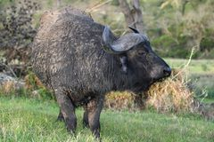 African Buffalo Bull Stock Images