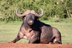 African Buffalo Bull Royalty Free Stock Photography