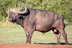 African Buffalo Bull Stock Photography