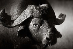 African buffalo bull Portrait. African buffalo portrait (Syncerus caffer) - Kruger National Park (South Africa royalty free stock photos