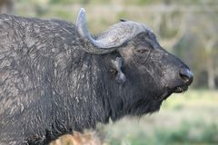 African Buffalo Bull Profile Royalty Free Stock Photography
