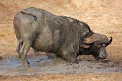 African buffalo bull, South Africa Royalty Free Stock Photos