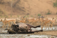 African Buffalo bull Syncerus caffer wallowing in mud Royalty Free Stock Image