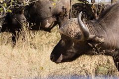 African buffalo bull. A tempered african buffalo bull grazing in the bush Royalty Free Stock Image