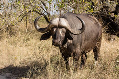 African buffalo bull. A tempered african buffalo bull grazing in the bush Royalty Free Stock Photos