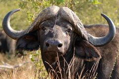 African buffalo or Cape buffalo (Syncerus caffer) Stock Images