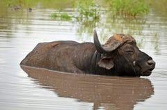 African buffalo or Cape buffalo (Syncerus caffer) Stock Photo