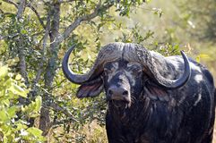 African buffalo or Cape buffalo (Syncerus caffer) Royalty Free Stock Photography