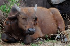 African buffalo or Cape buffalo (Syncerus caffer) Stock Images