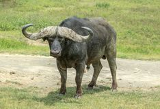 An African buffalo inside the Ngorongoro crater, Tanzania. The African buffalo or Cape buffalo Syncerus caffer is a large African bovine. It is found in East and Stock Images