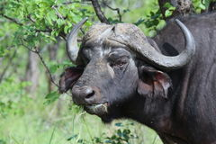African buffalo. African or Cape buffalo eating leaves royalty free stock photos