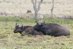 African buffalo. Or Cape buffalo (Syncerus caffer), iKenya Royalty Free Stock Image
