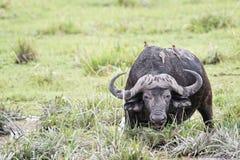 African buffalo. Or Cape buffalo (Syncerus caffer), Kenya Stock Images