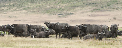 African .Buffalo with cattle egret Royalty Free Stock Images