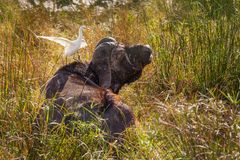 African buffalo and cattle egret Royalty Free Stock Photography