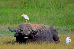 African buffalo and cattle egrets, Amboseli National Park, Kenya Royalty Free Stock Photography