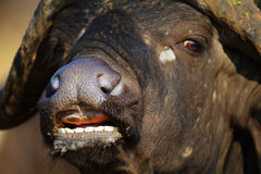 African buffalo close-up portrait Royalty Free Stock Images
