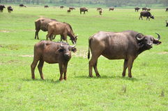 African buffalo cow and calf Royalty Free Stock Images