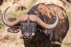 African buffalo cow (Syncerus caffer) portrait - Kruger National Park. (South Africa royalty free stock image