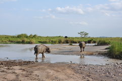 African buffalo crossing Royalty Free Stock Image
