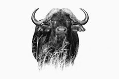 African Buffalo, Cyncerus cafer, standing in the grass, Moremi, Okavango delta, Botswana, Africa. Black and white fine art African. Animal in the habitat. Face Stock Photo