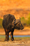 African Buffalo, Cyncerus cafer, standing on the river bank, big animal in the nature habitat, orange light evening sun, Chobe Nat. African Buffalo, Cyncerus Stock Image