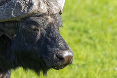 African buffalo detail Stock Images