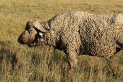 African buffalo dipped in mud, Kenya Royalty Free Stock Photos