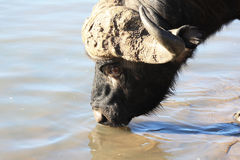The African Buffalo is drinking water. The head of a bull with horns Royalty Free Stock Image