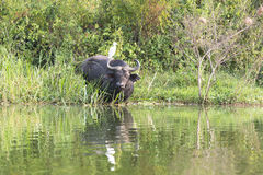 African buffalo with egret. On back in Queen Elizabeth Park in Uganda royalty free stock photography