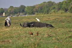 African buffalo and egret,  in Chobe National Park, Botswana Royalty Free Stock Photo