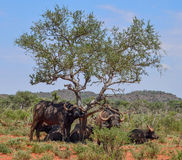African Buffalo family group Stock Images
