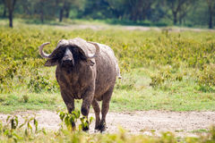African buffalo grazing at Lake Nakuru Stock Photo