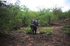 African buffalo grazing royalty free stock image