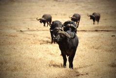African buffalo group Royalty Free Stock Image