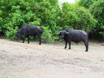 African buffalo group finding for food in their habitat Royalty Free Stock Photography
