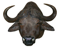 African Buffalo Head Royalty Free Stock Images