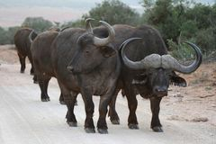 African Buffalo Herd Royalty Free Stock Photography