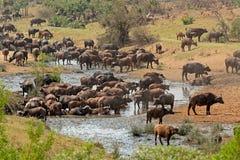Free African Buffalo Herd Stock Photo - 65855260