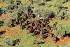 African buffalo herd Stock Photography
