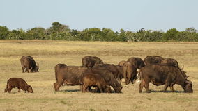 African buffalo herd Royalty Free Stock Image