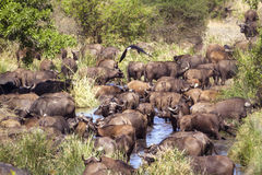 African buffalo herd in Kruger National park Stock Photo